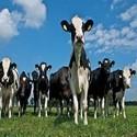 Koeien drogist | Alles voor koeien en kalveren