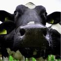 Ademhalen bij koeien en kalveren