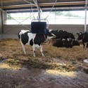 Huidverzorging en wondverzorging koe