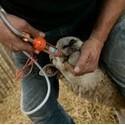 Diergeneesmiddelen voor schapen en lammeren
