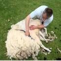 Huidverzorging en Wondverzorging schaap