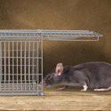 Ratten vangen