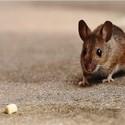 Muizen bestrijden tips  Muizen bestrijding in huis